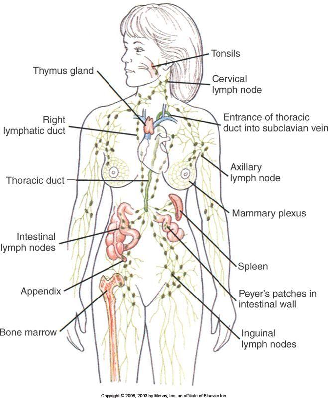 Lymph Fluid Inside Lymph Nodes Contains Lymphocytes A Type Of White
