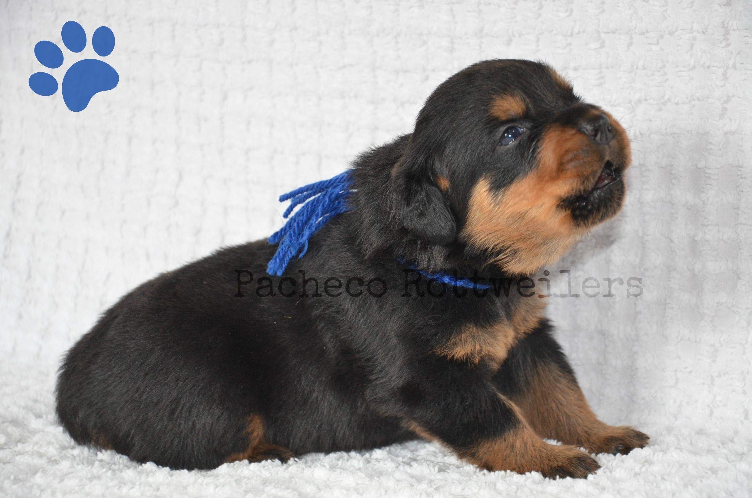Blue Male Howling The Photo Shoot Away 2 Weeks Old Pets