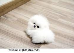 Ftfxdf Teacup Pomeranian Pups For Sale 400 Pomeranian Puppy Teacup Teacup Pomeranian Pomeranian Puppy