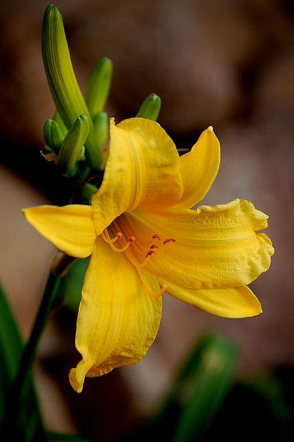 Yellow Lilly in Bloom