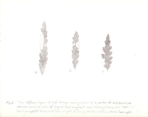 """Fig. 3.  Some damage types on leaves of Comptonia peregrina.  These drawings show three different types of leaf damage involving removal of a portion of leaf. Dotted line indicates probable area of original leaf margins. A leaf displaying """"emargination"""" (left) and """"hole"""" upper right. B """"Emargination"""" (left and right), C """"Emargination"""" (lower left) and """"shothole"""" upper right.) Gwen D. Feldman's Honor's Thesis."""