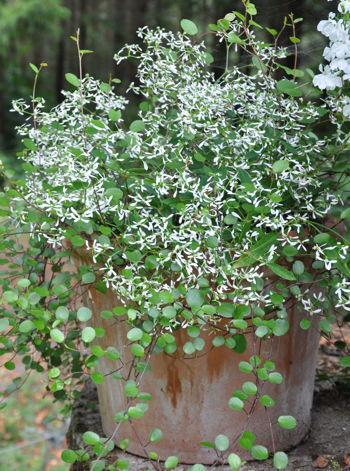 Snotorel Slideranka Tradgard I Kruka Plantera Blommor Plantering