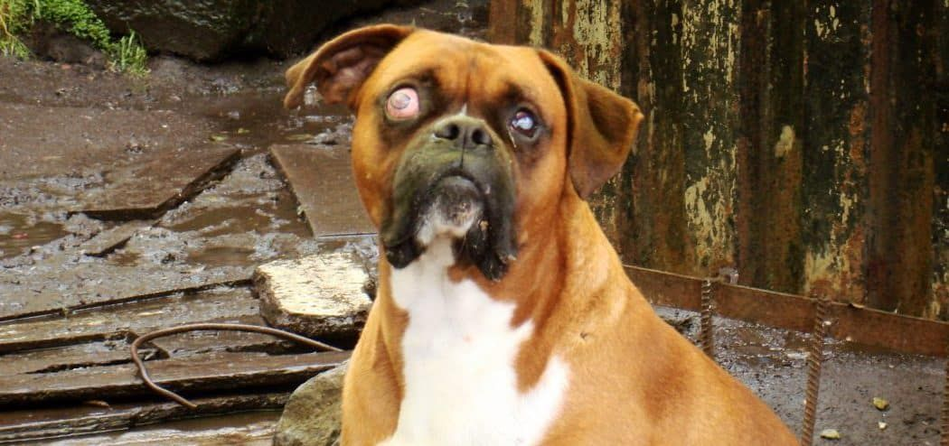 Short Description of Glaucoma In Dogs
