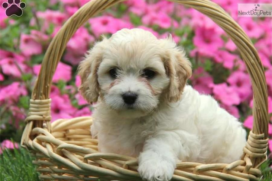 Daisy Cavachon Cavachon Puppies Cavachon Puppies For Sale