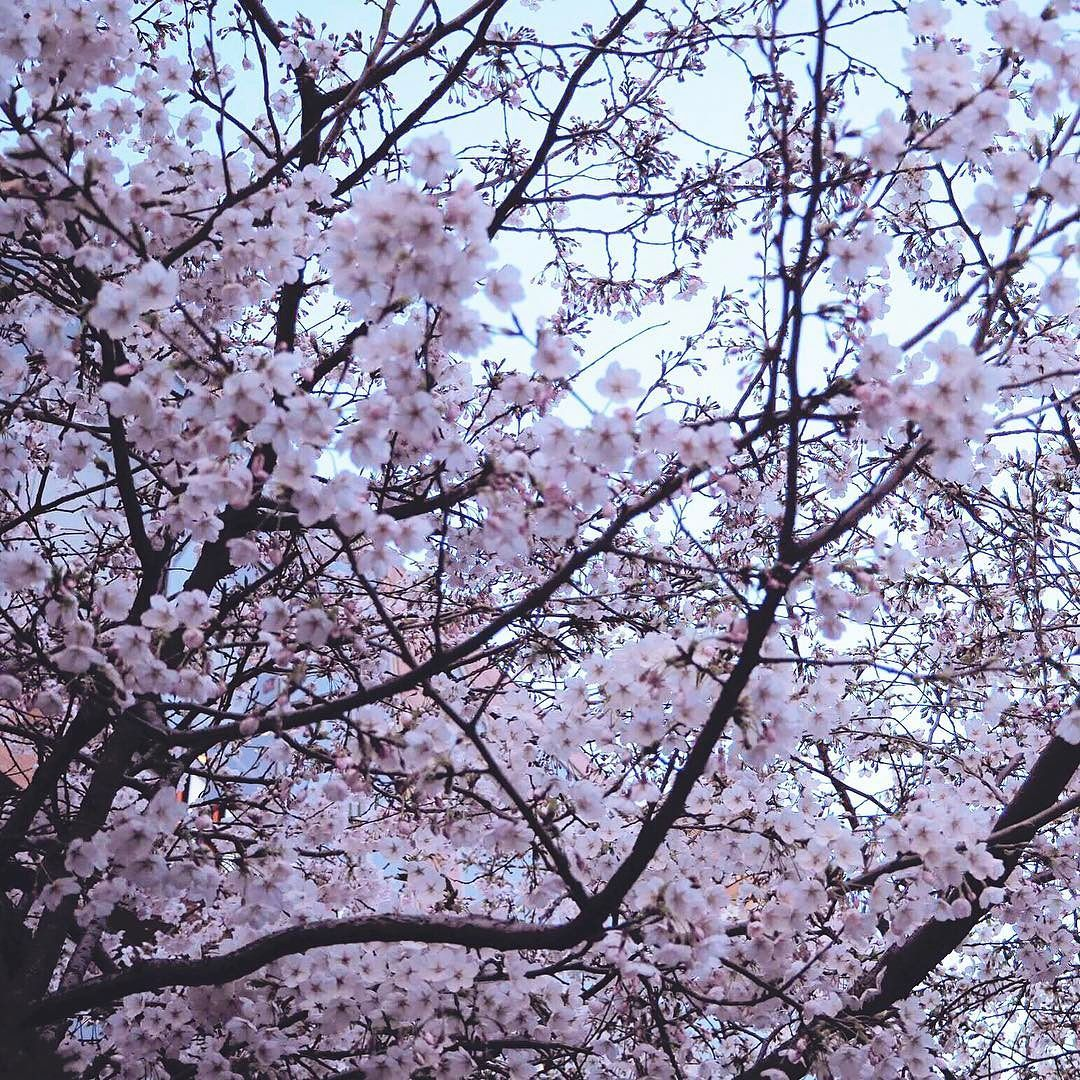 To Explain Seoul Without Mentioning Cherry Blossoms Would Be A Crime These Beauties Are Just Magnificent And It S No W Pink Snow Like Instagram Cherry Blossom