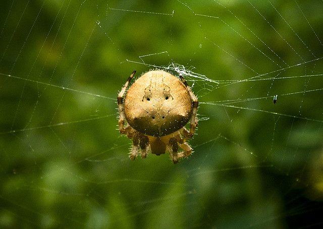 common/harmless. cat-face spider (Araneus gemmoides)