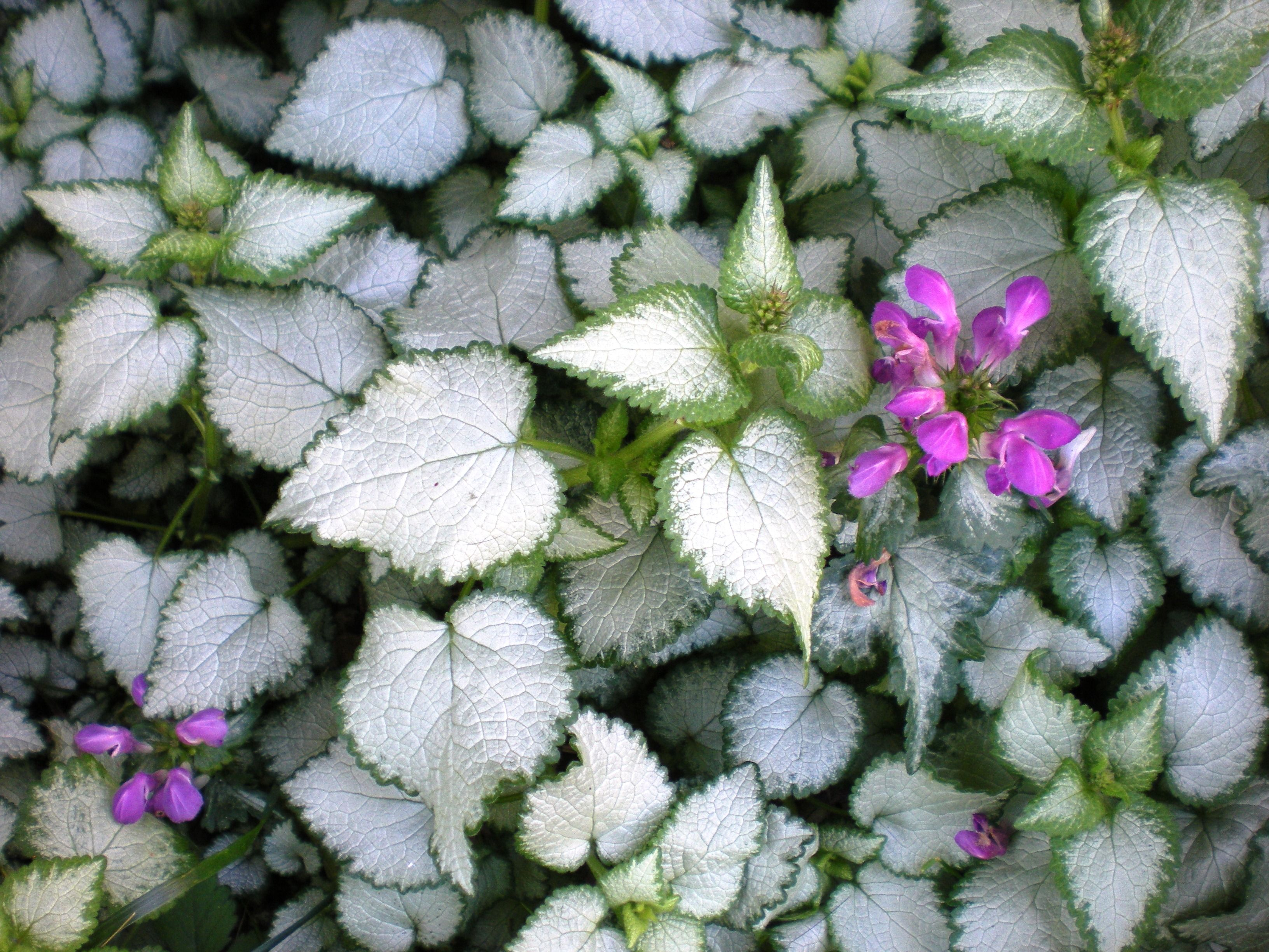 How to plant ground cover for shady areas - Beacon Silver Lamium Perennial Ground Cover For The Shade