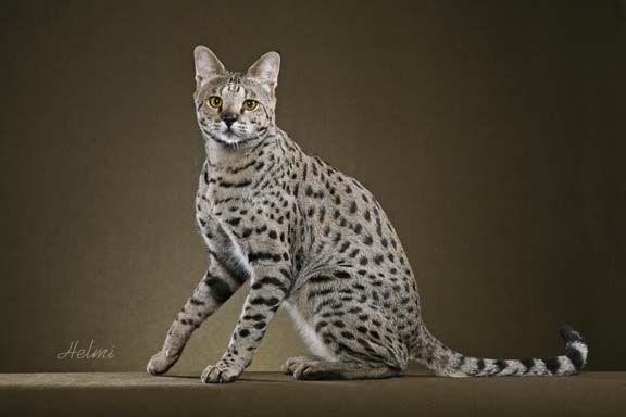 Savannah Cat Home Page Go To Savannah Cat Page Return To Laws On Cats Savannah Cat Wild Cat Species Cat Species Domestic Cat Breeds