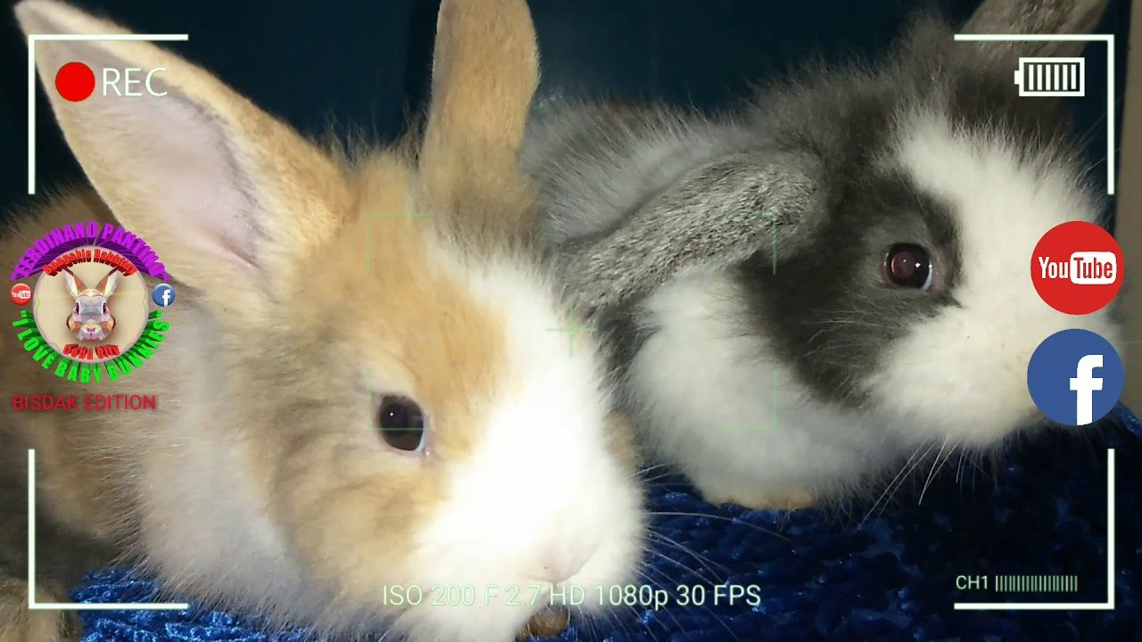 Pin By Rabbitvideos On Bunny Rabbit In 2020 Cute Baby Bunnies Baby Bunnies Cute Babies