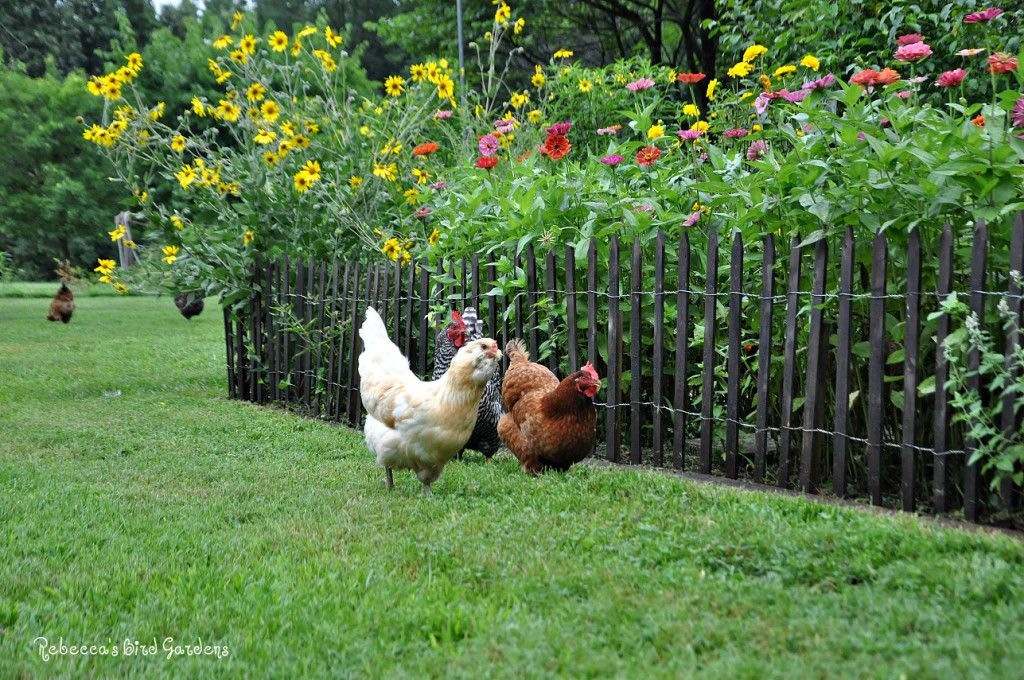 Gardening with Chickens and Picket Fences