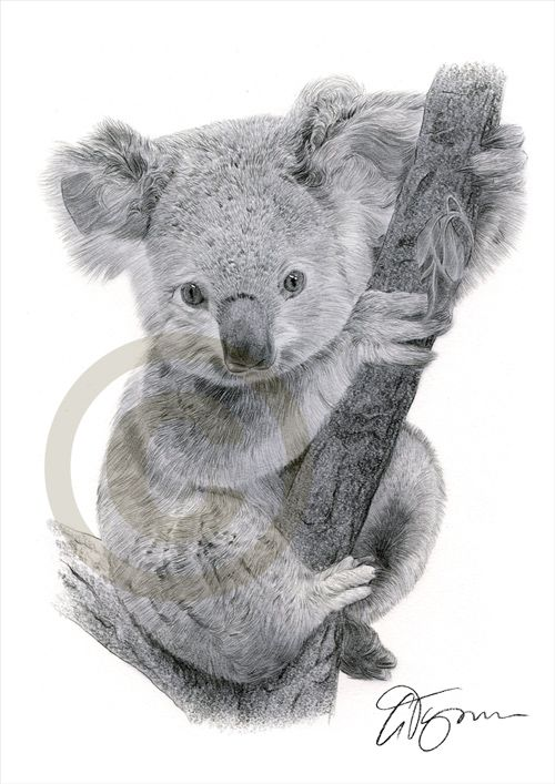 Koala Pencil Drawing Baby Koala Koala Drawing
