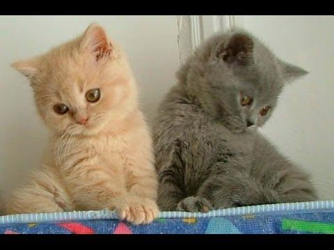 Animal Planet Cats 101 British Shorthair Youtube British