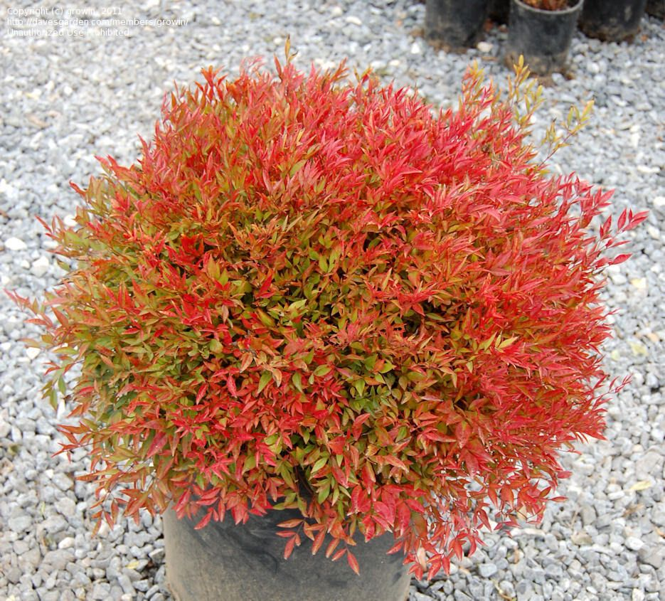 Photo Ofheavenly Bamboo Nadina Picture 3 Of Heavenly Bamboo Nandina Moon Bay Nandina Domestica Front Yard Plants Trees To Plant Plants