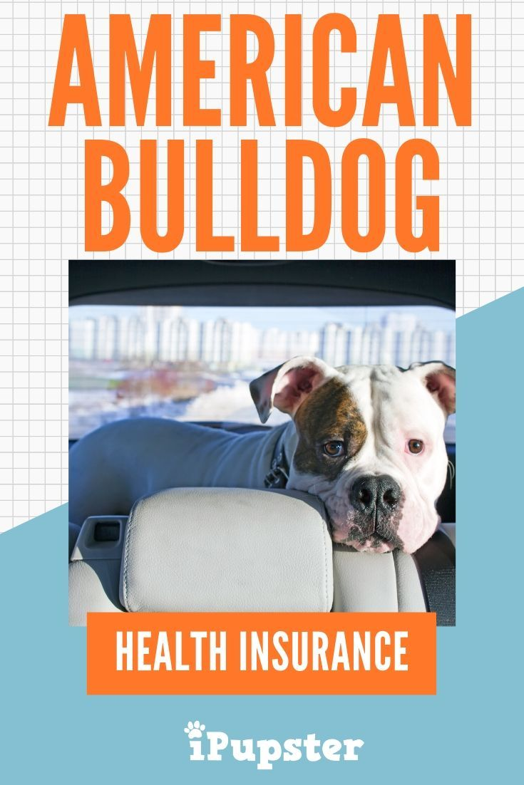 American Bulldog Pet Insurance How Much Does it Cost