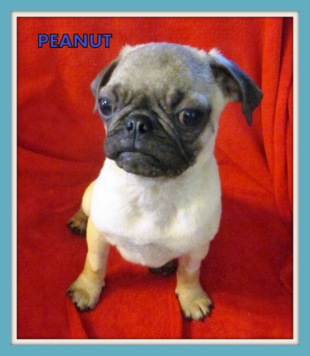Peanut Was The Smallest Puglet To Be Rescued With The 32 Pugs He