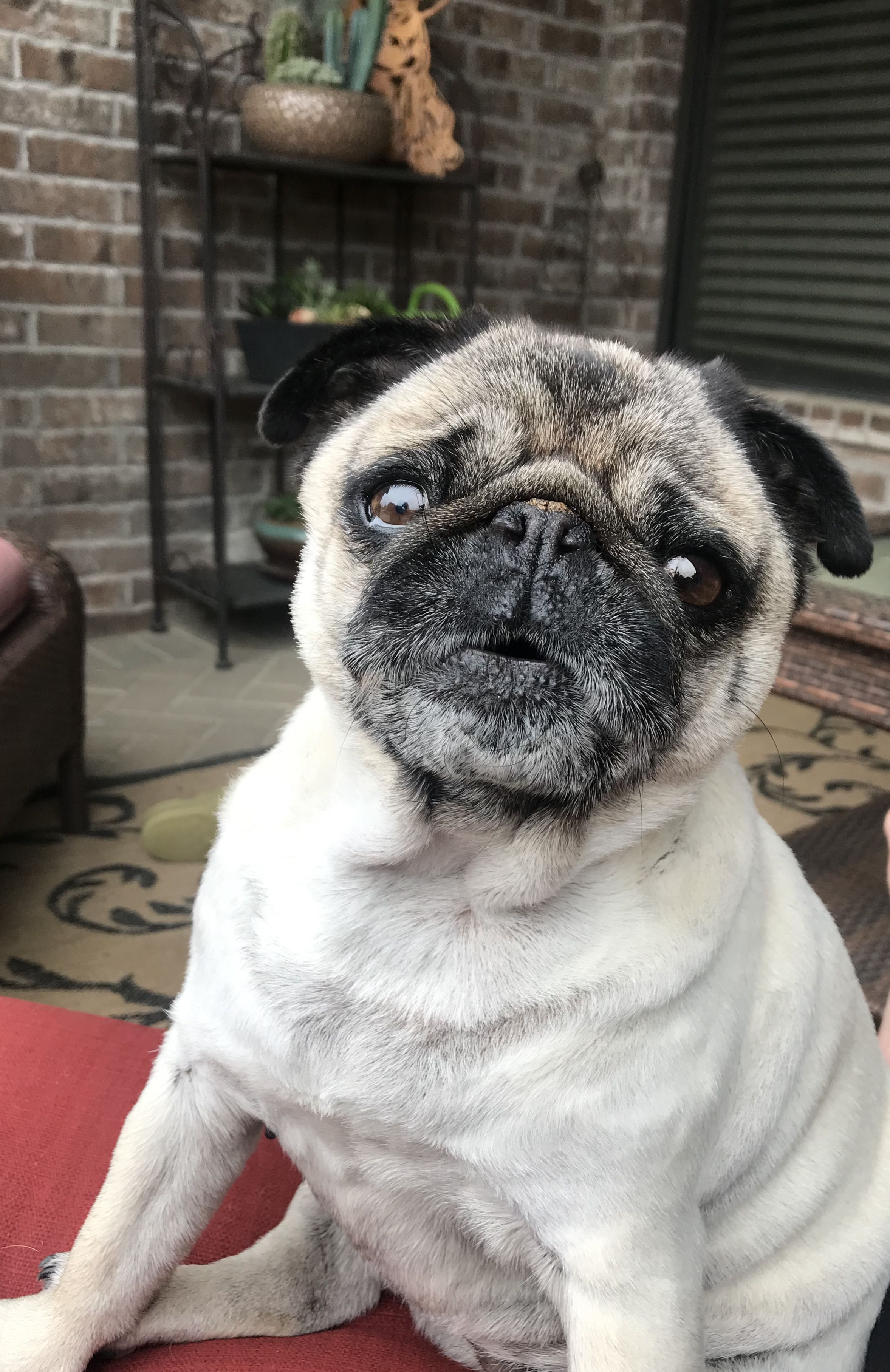 Cutest Pug Ever With Images Cute Pugs Pug Memes Puppies And