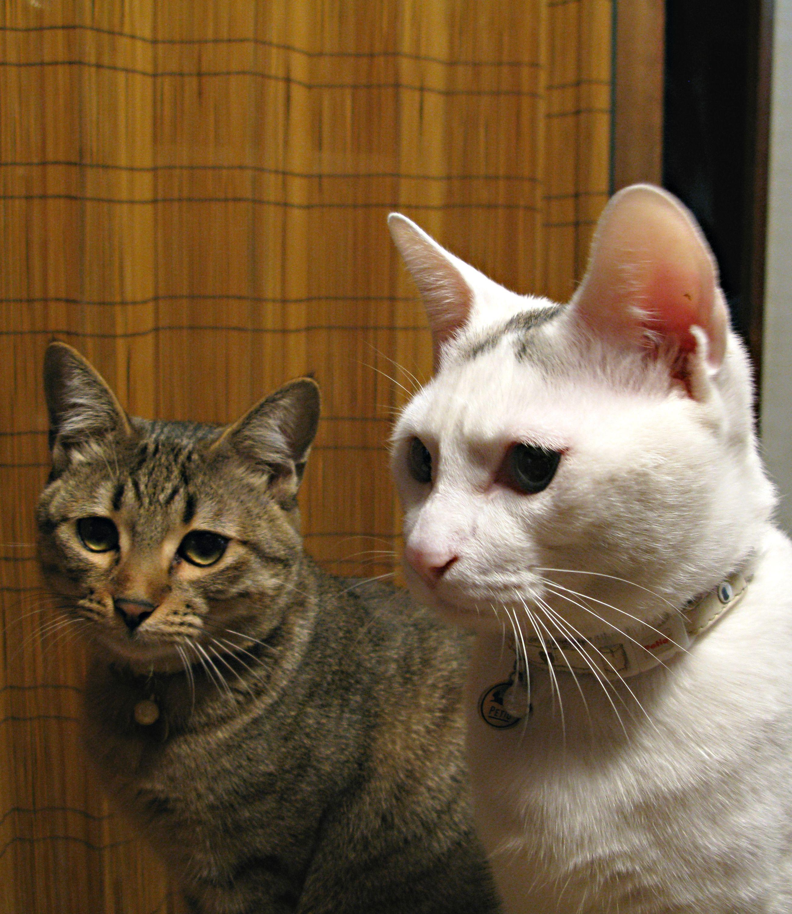 Puchi & Chiro Kitten meowing, Cats, Animals