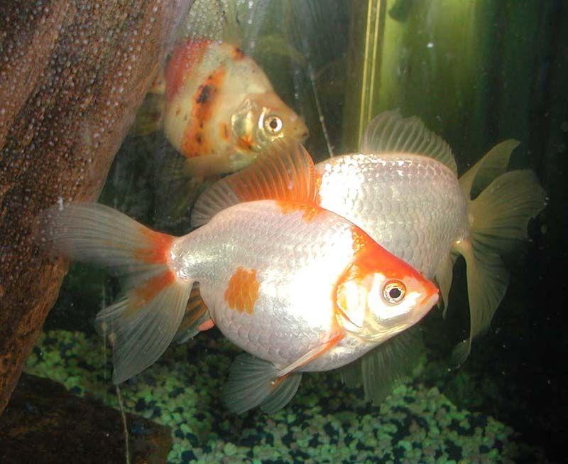 Goldfish Goldfish Fantail Goldfish Pet Fish