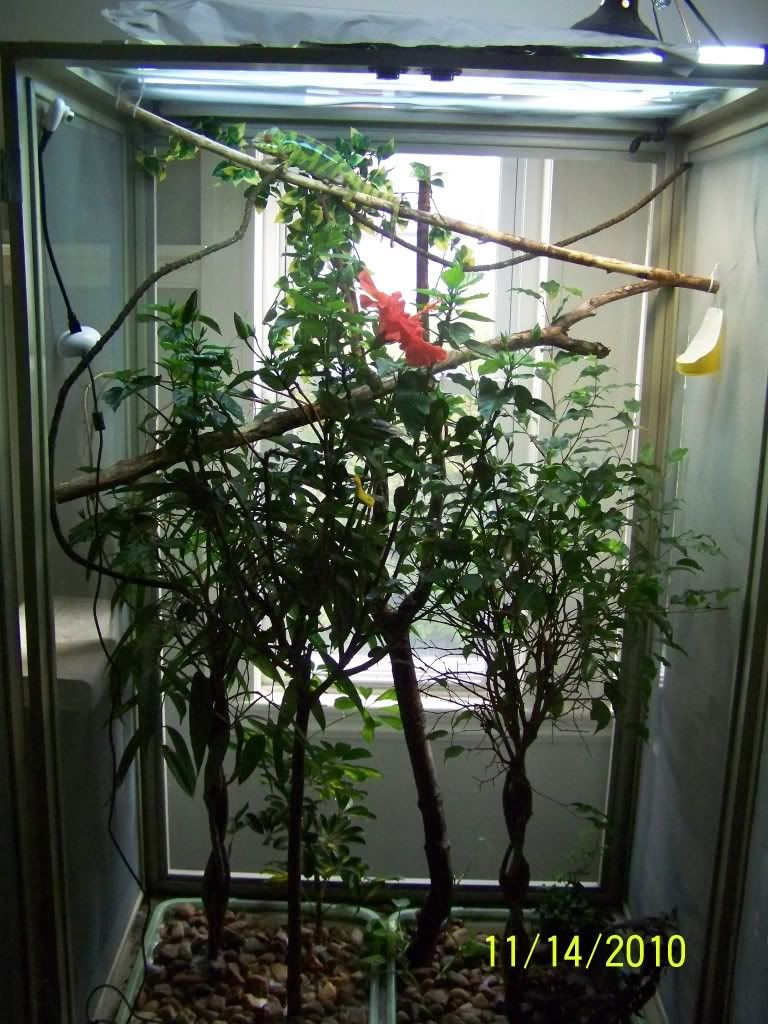 The Official Enclosure Picture Thread Chameleon Forums Chameleon Chameleon Cage Chameleon Terrarium