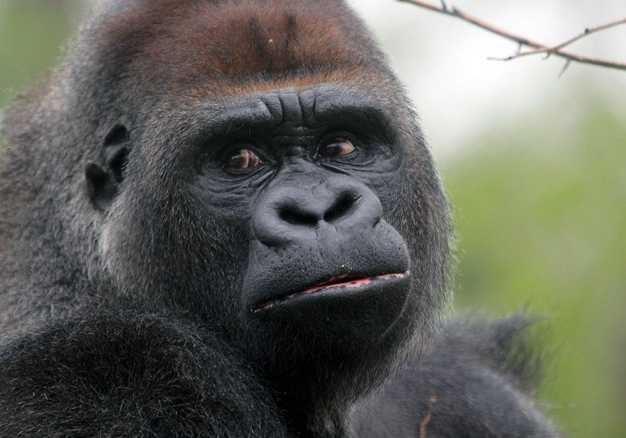 Western Lowland Gorilla Silverback By The Name Of Virgil Used To