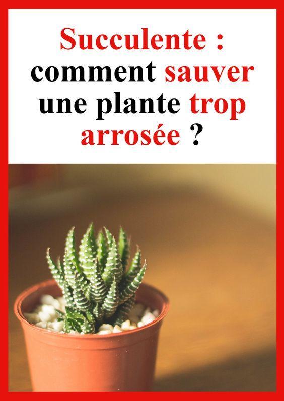 Succulente Comment Sauver Une Plante Trop Arrosee Avec Images