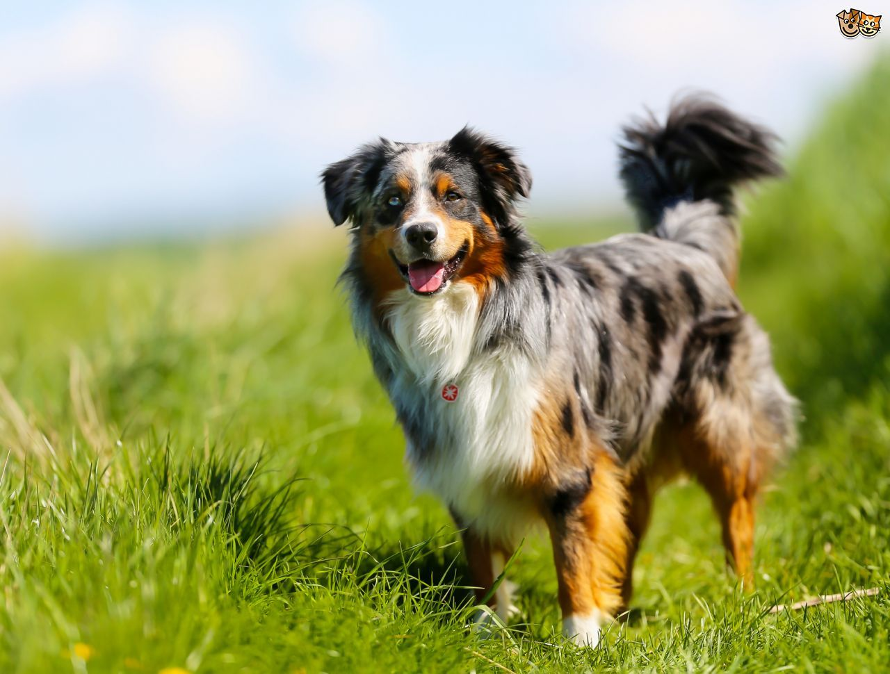 The Core Personality Traits Of Herding And Shepherding Dogs Pets4homes Shepherd Dog Breeds Australian Shepherd Dogs Australian Shepherd
