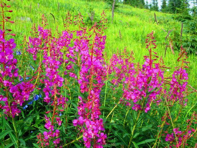 Yukon territory flower