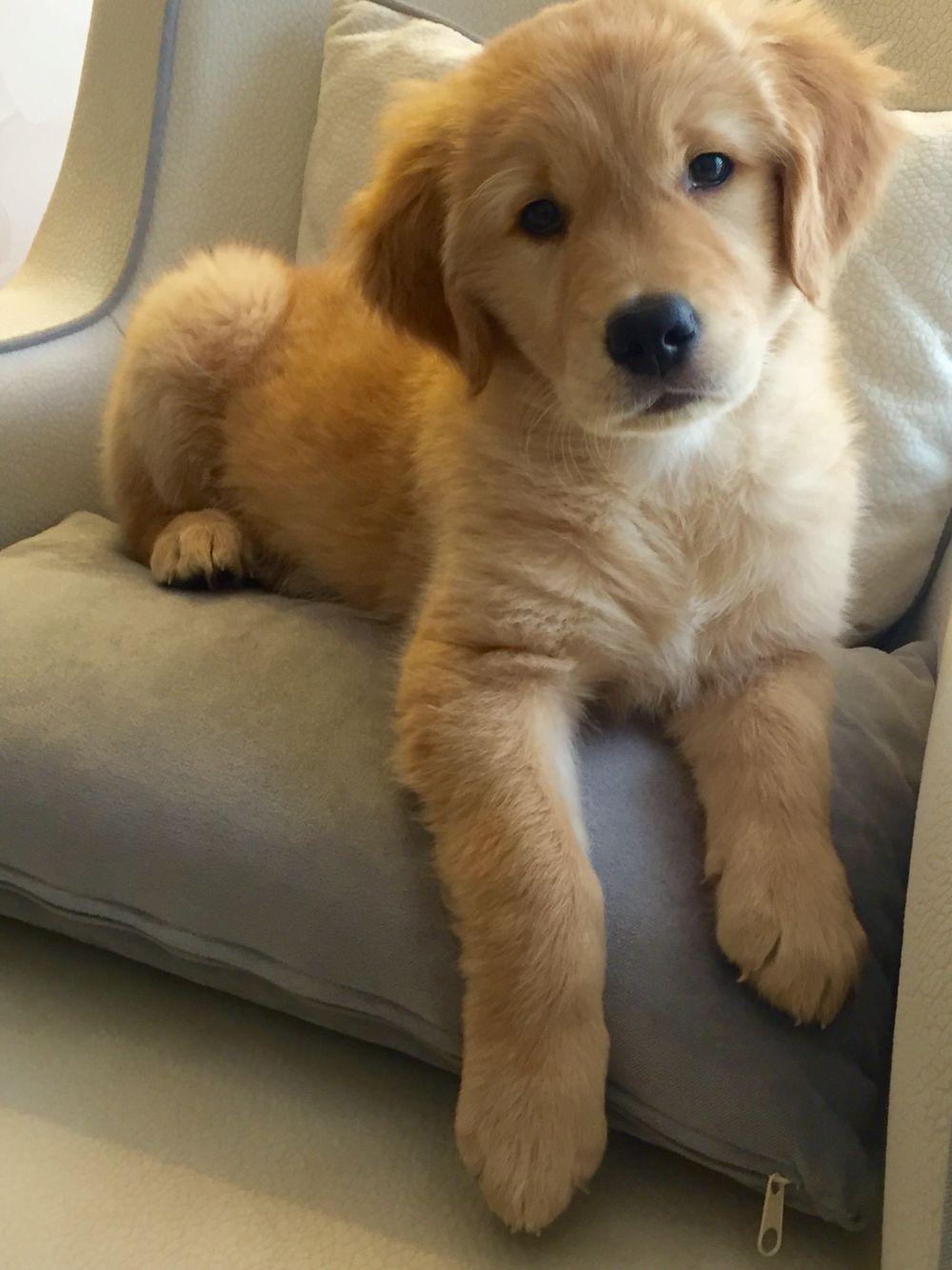 Cutest Golden Retriever Puppies Cute Dogs Cute Puppies