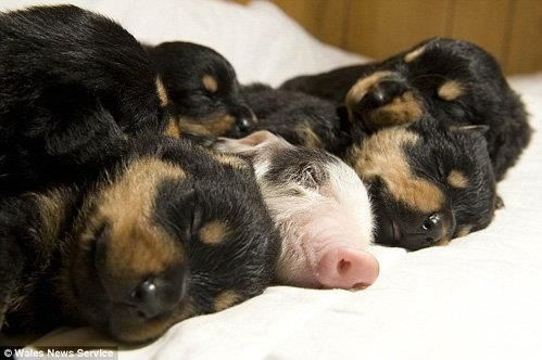 Puppies with Pig