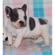 French Bulldog Puppies Image Eclassifieds4u Bulldog Puppies