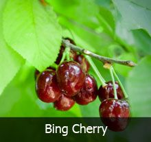 4 In 1 Cherry Tree Bing Cherries Cherry Tree Unique Trees