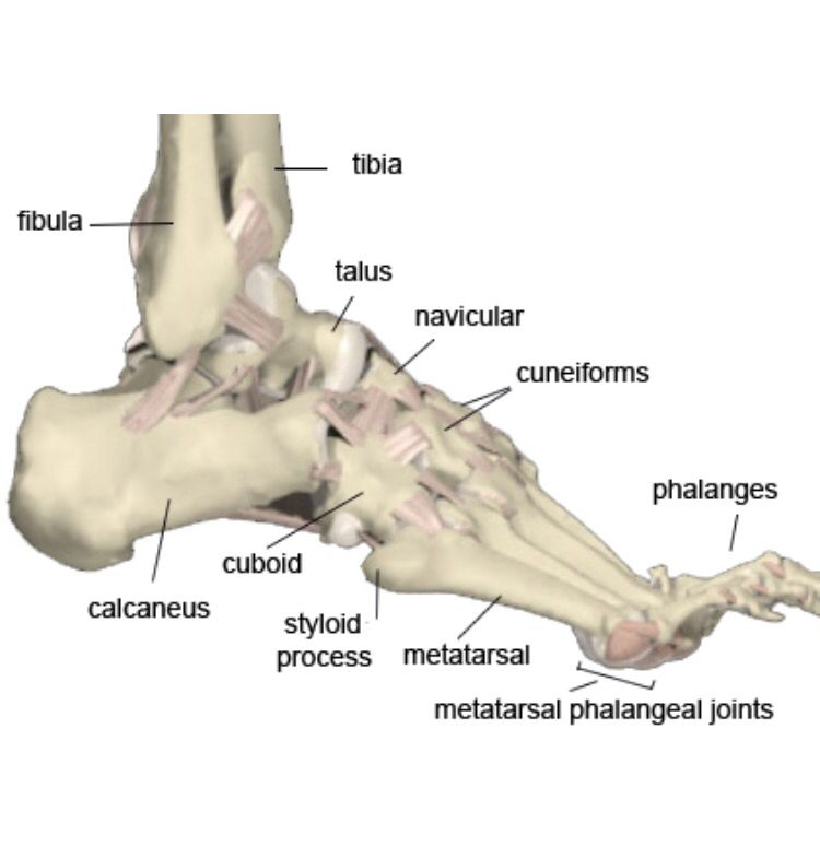 Foot And Ankle Bones Ankle Anatomy Anatomy Images Human Skeleton Labeled