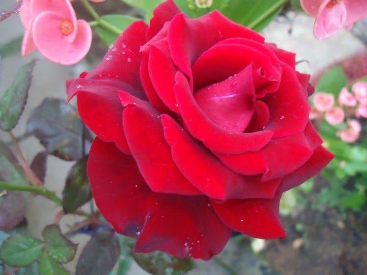 Fantastis 20 Contoh Bunga Mawar Untuk Pacar 32 Gambar Bunga Dan Jenisnya Yang Cantik Beserta Penjelasannya Gambar Bunga Mawar Buat P Di 2020 Bunga Bunga Murah Mekar