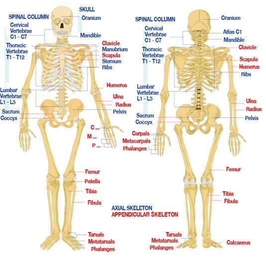 components and functions of human anatomy skeletal system | www, Skeleton