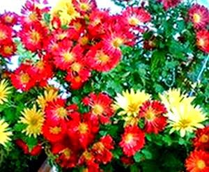 Air Purifying Plant Pot Mum Or Florist S Mum Chrysanthemum Morifolium Potted Mums Air Purifying Plants Air Purifying House Plants