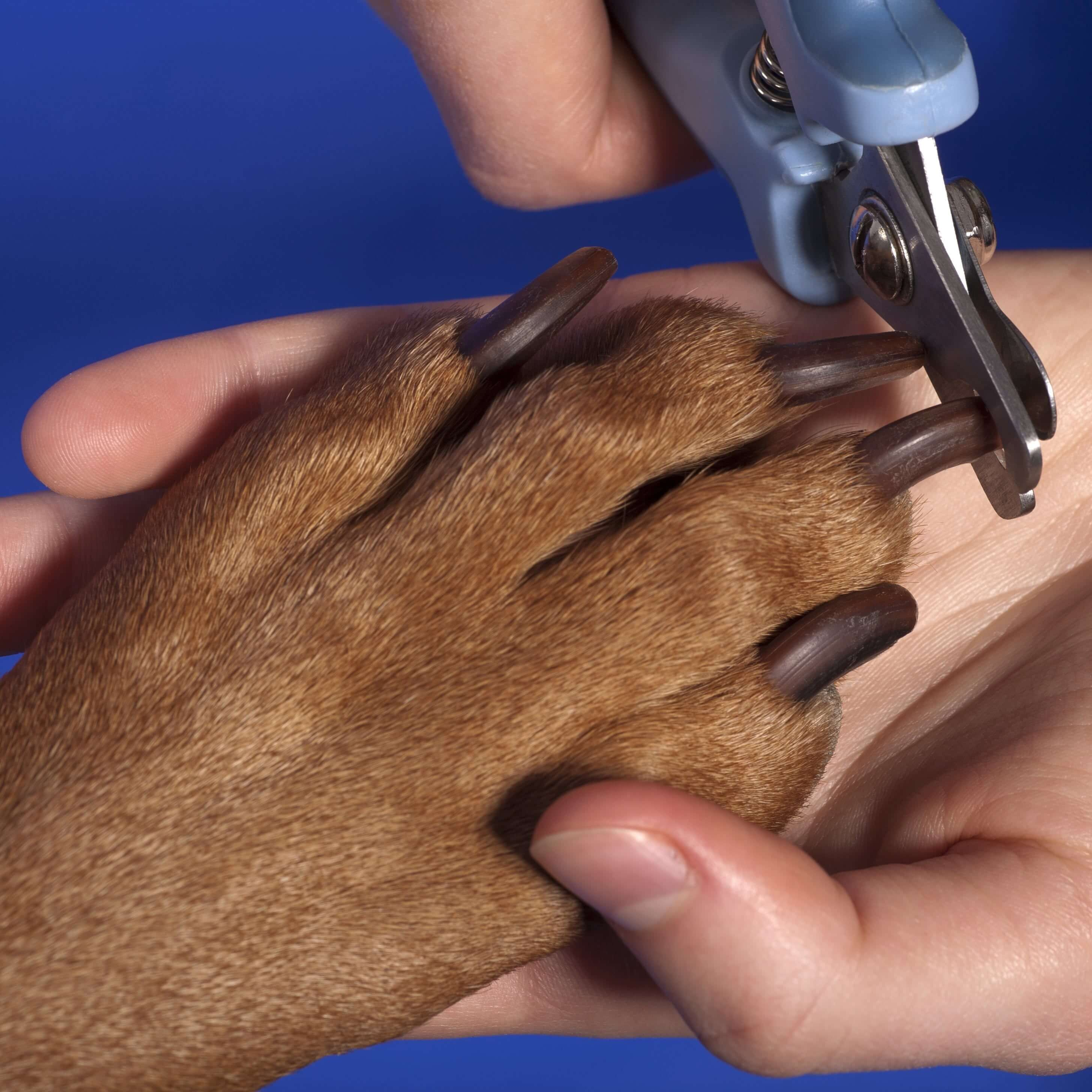 how to cut an aggressive dog's nails