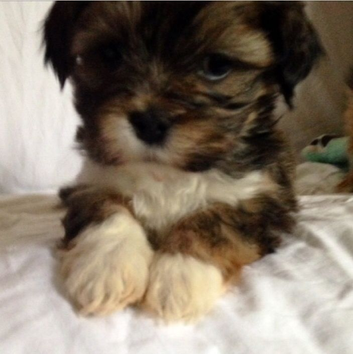 Lhasa Apso Puppies Bradford Gumtree With Images Lhasa Apso