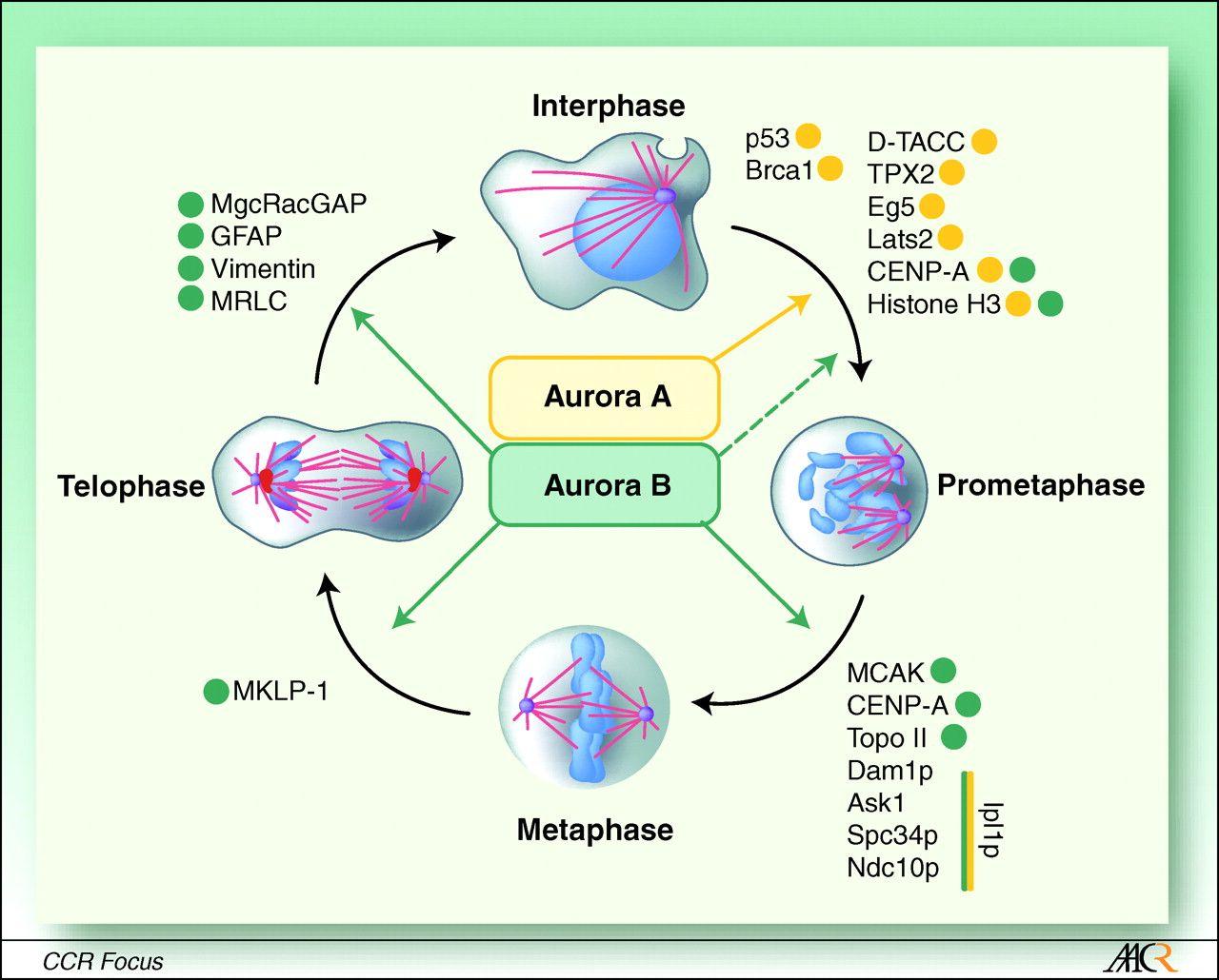 aurora-kinase - Google Search : Cell cycle : Pinterest