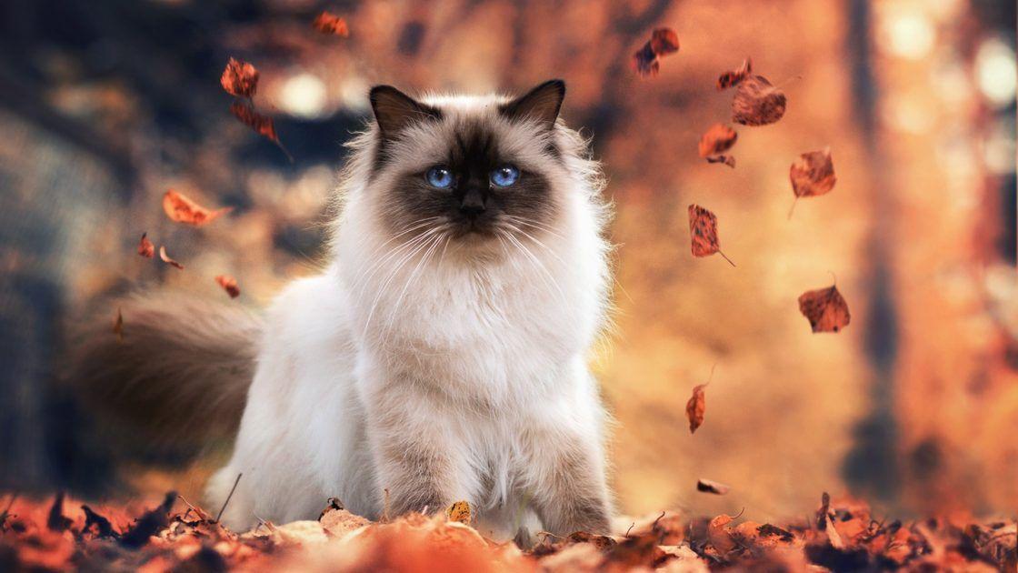 Chat Sacre Birmanie 2 Sacred Cat Burma 2 Voyage Onirique En 2020 Petit Chat Trop Mignon Bebes Animaux Mignons Sacre De Birmanie