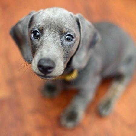Gray Mini Dachshunds For Sale Info 90dogtrainingtips