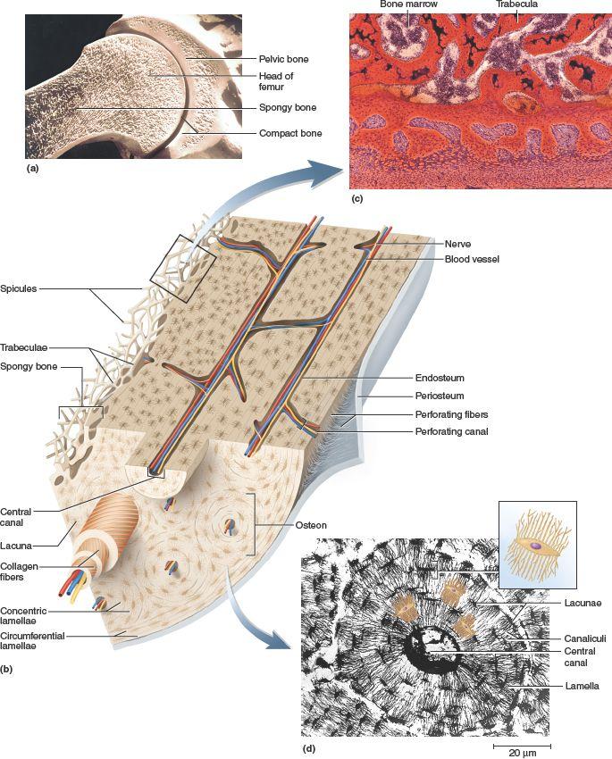 Pin On Chapter 7 Bone Tissue