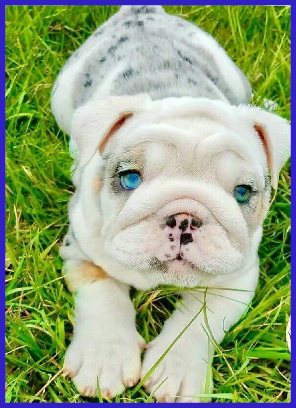 Premium Quality English Bulldog Puppies For Sale Country S