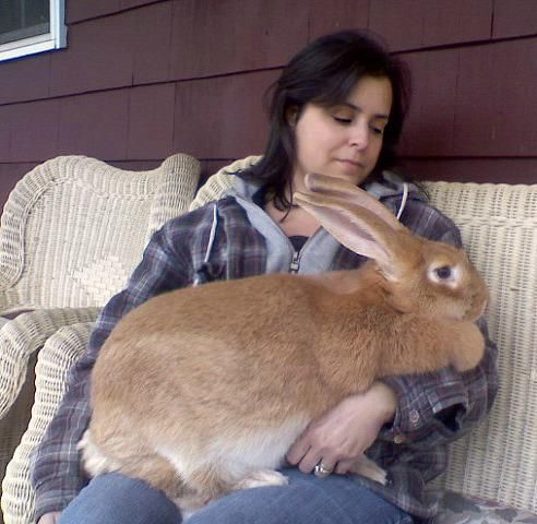 how to take care of flemish giant rabbits