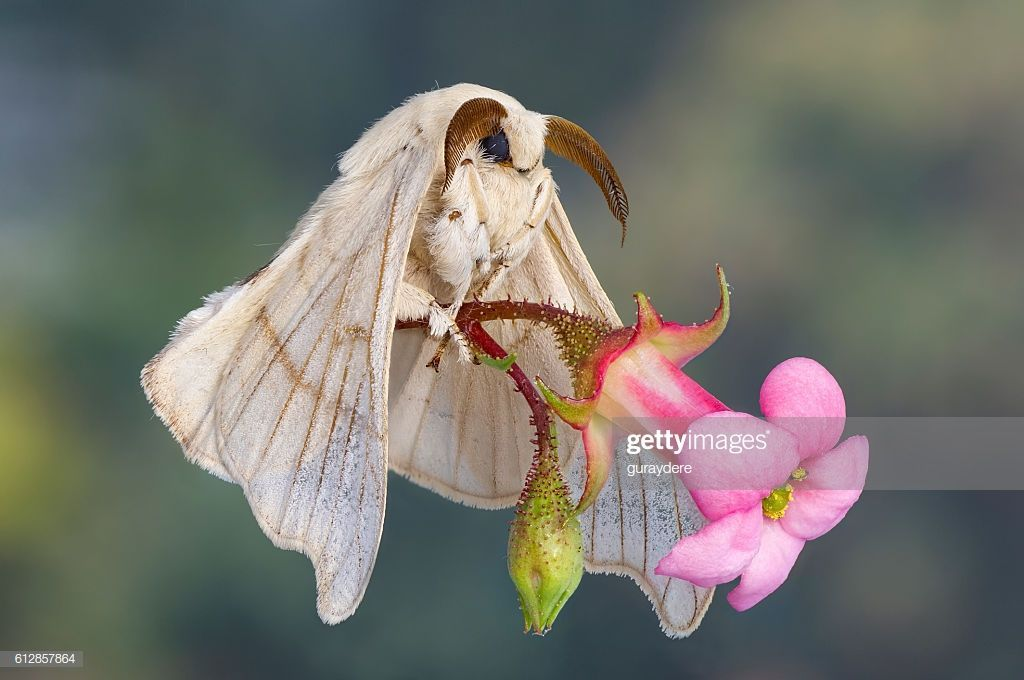 Macro Close Up View Of A Silk Worm Moth In Her Wedding Dress Holding Moth Is It Really Carrying The Flower As It Flies Hm In 2020 Cute Moth Moth Silkworm Moth