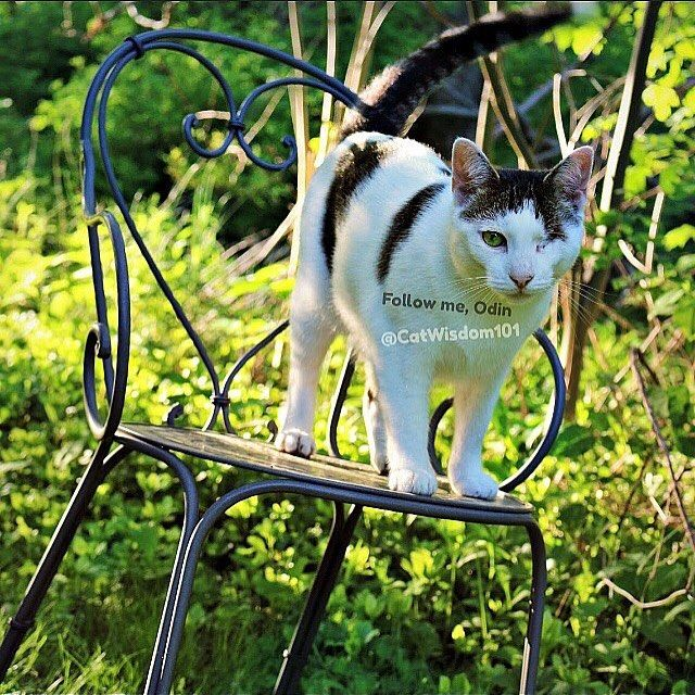 Get in the hot seat with one-eyed Odin who knows all. Ask him anything. He will respond by emojis🦄🎡🎲 ... #catwisdom101 #emojiguru  #thefutureismeow #caturday365  #askodin #askmeanything #catsofig #chairs #gardenlife #catlife