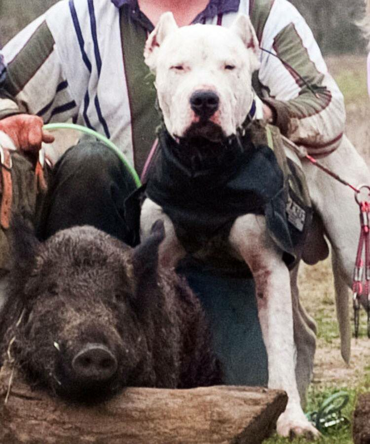Oso Polar My Dogo Argentino After A Successful Hog Hunt Hog Dog