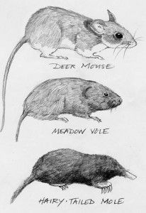 how to get rid of a vole in the garden