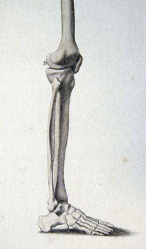 Bones Of The Thigh Leg And Foot Skeleton Drawings Anatomy Art Skeleton Anatomy