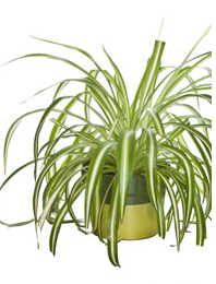 how to grow spider plants in water