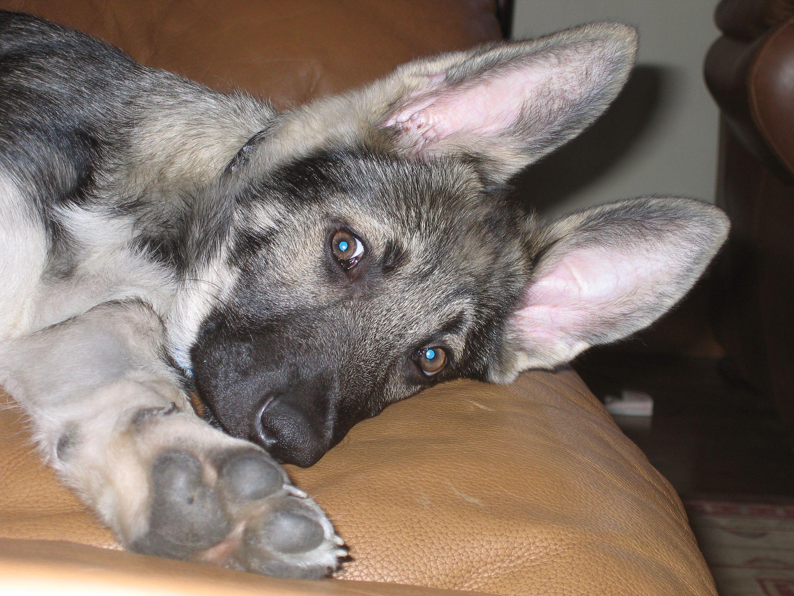 Park Art My WordPress Blog_Silver German Shepherd Puppies For Sale